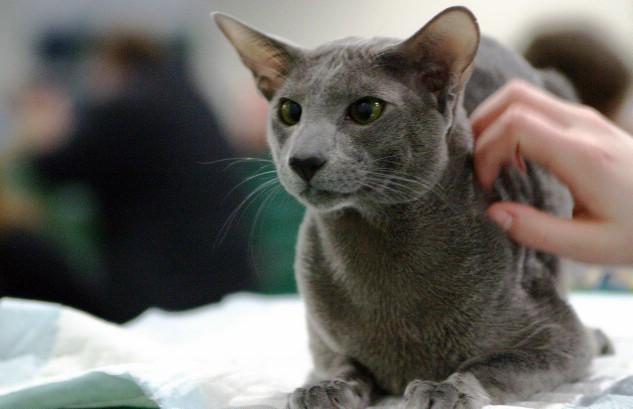 подготовить ориентальную кошку к выставке