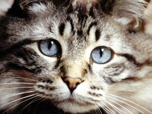Почему кошка - священное животное