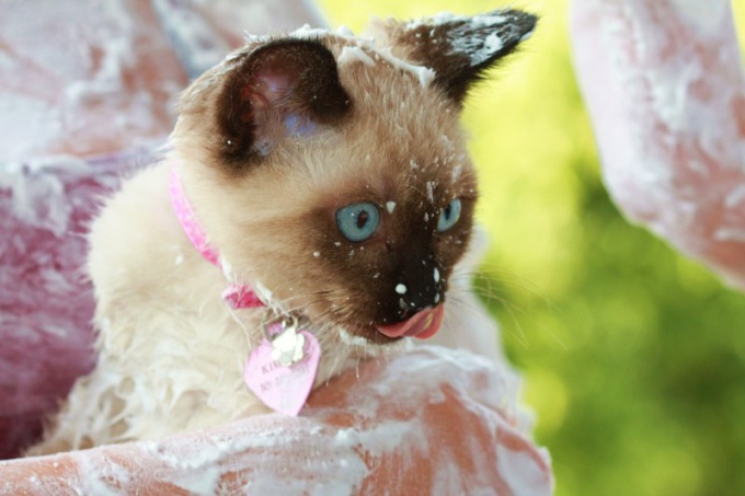 How to care for Siamese kittens