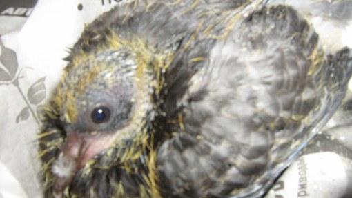 как выкормить голубя