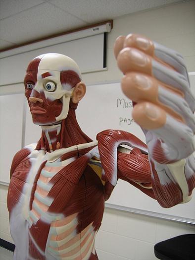 Что такое мышечная ткань