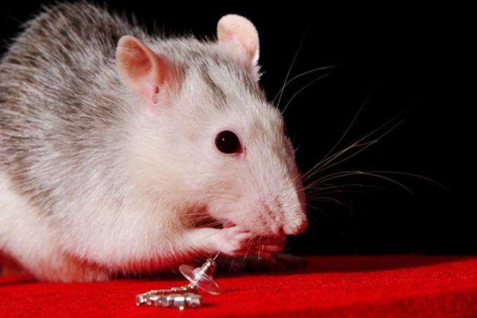 крыса домашнее животное чем кормить