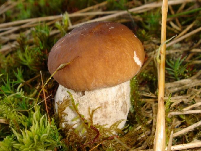 Как найти белый гриб