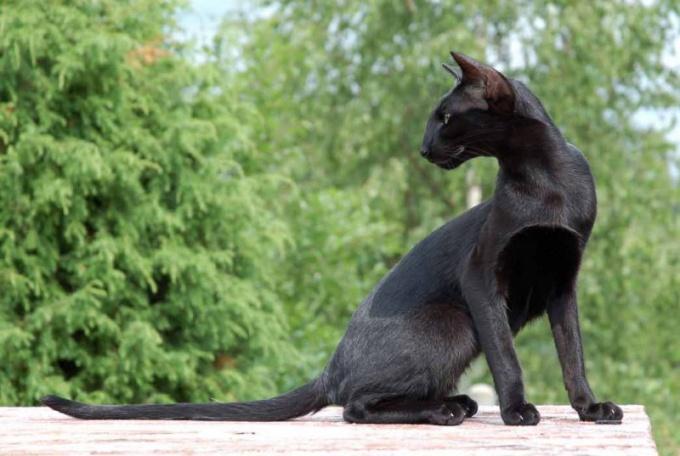 выбрать ориентальную кошку