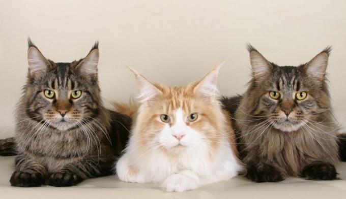 защитить домашнего кота от блох