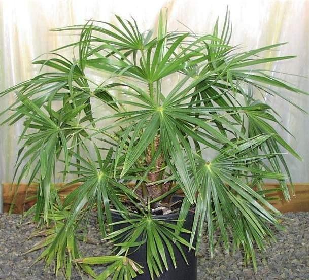 Как вырастить комнатную пальму