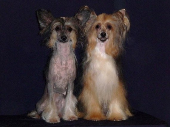 How to care for a Chinese crested dog