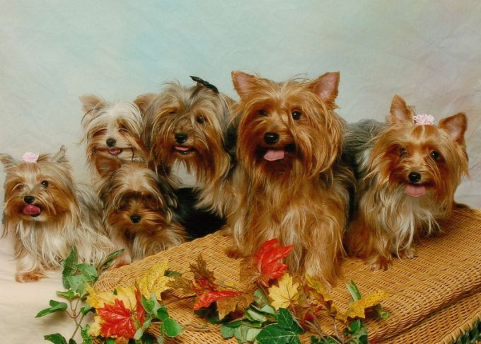 How to knit a Yorkshire Terrier