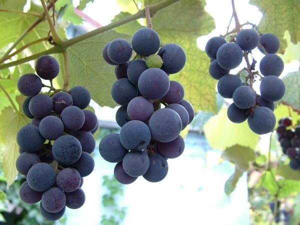 Как обрезать виноградную лозу