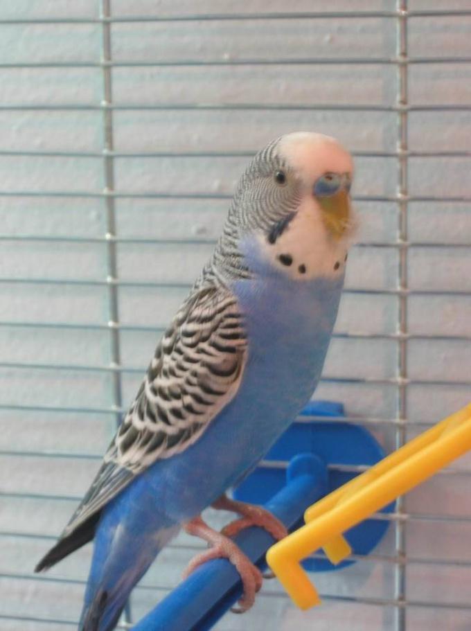 Попугай - мальчик