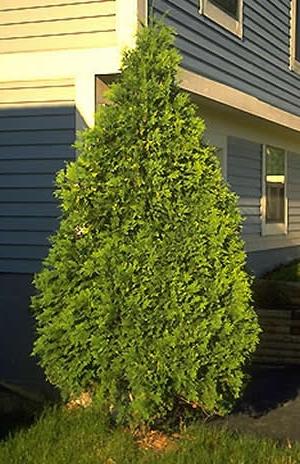 Evergreens arborvitae cultivars with razlicnimi has hints of pine needles
