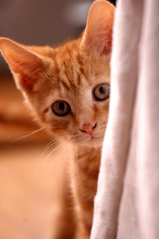 Чистить уши кошке - непростая задача