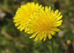 Медвяный запах связан с цветком-медоносом