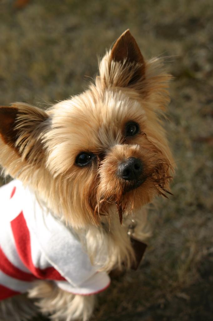 Связать простой свитер для собаки может каждый