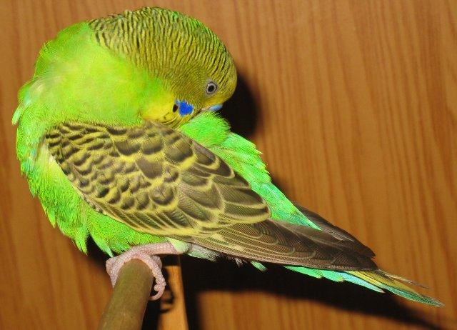 Как определить возраст попугая