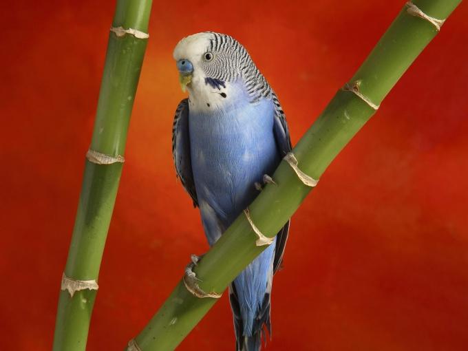 куплю маленького волнистого попугая телефон в самаре