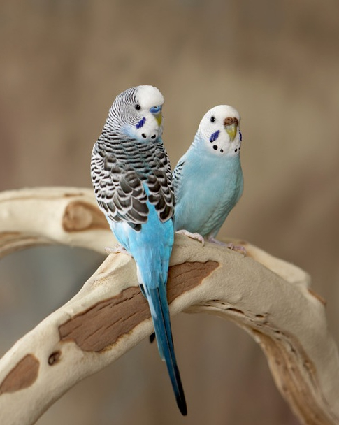 Самец волнистого попугая