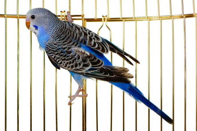 Как предпочесть волнистого попугая