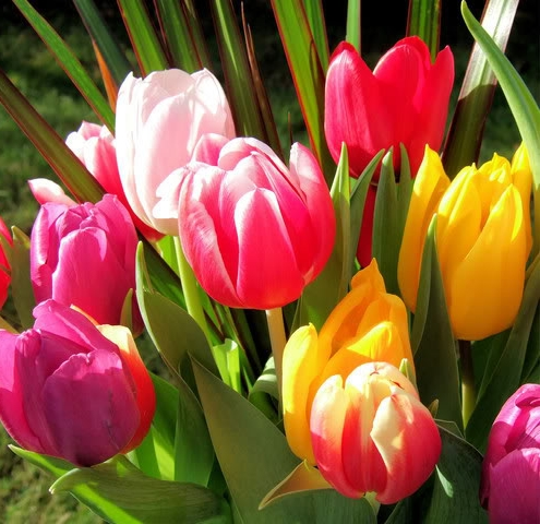 Тюльпан - самый весенний цветок