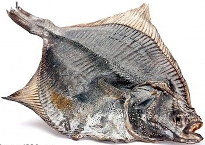Flounder is a saltwater fish that live on the bottom.