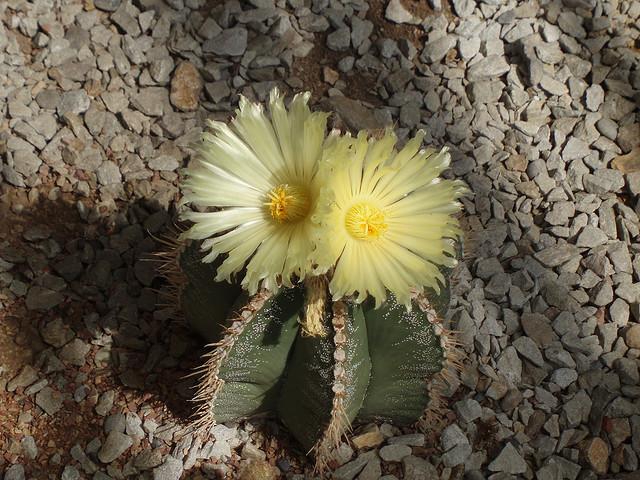 Вырастить кактус из семечки - это высший пилотаж