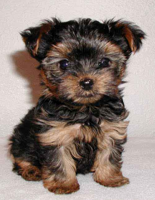 How to choose a Yorkshire Terrier
