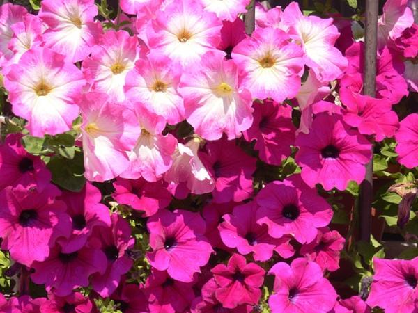 Как выращивать петунью: советы цветовода