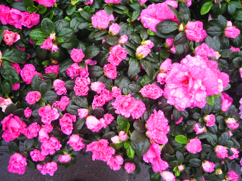Кусты роз могут в значительной степени улучшить вид сада