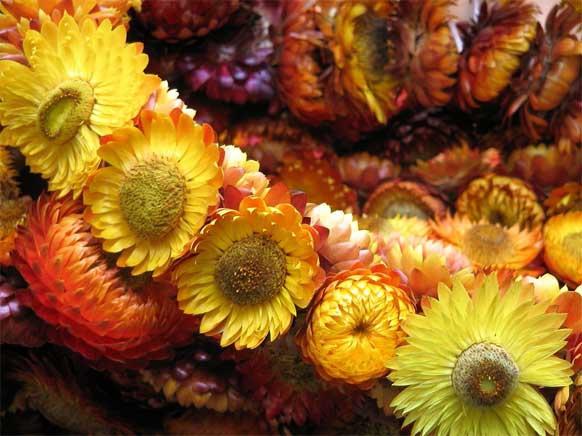 Окраска вдохнет в сухие цветы вторую жизнь