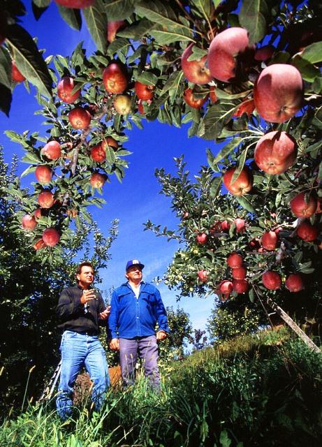 Яблоки, выросшие в собственном саду намного вкуснее магазинных