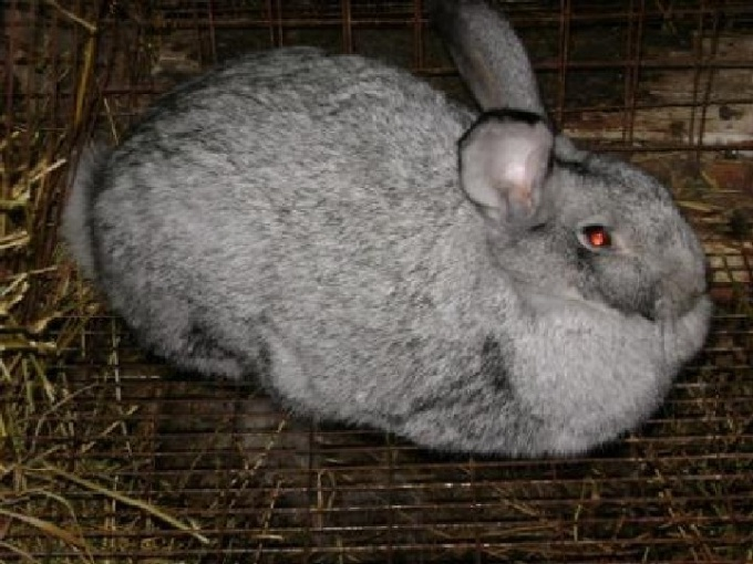 Rabbit breed Gray giant.