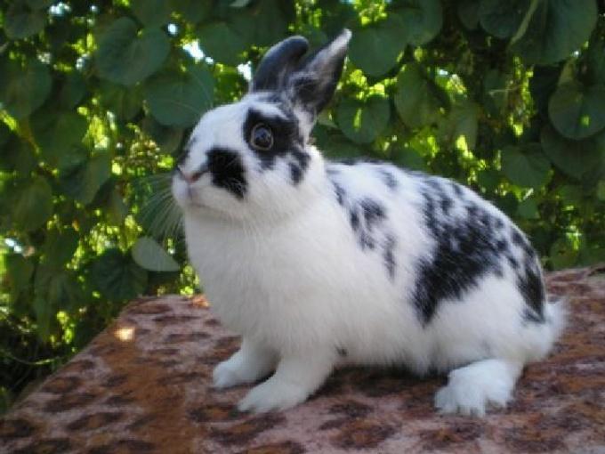 Rabbit breed Butterfly.