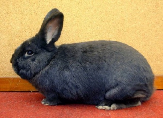 Rabbit breed Viennese blue.