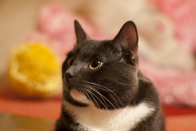 Кастрированные коты ведут себя спокойнее