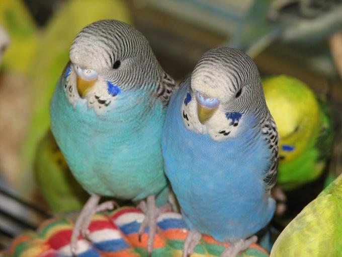 различить волнистых попугаев