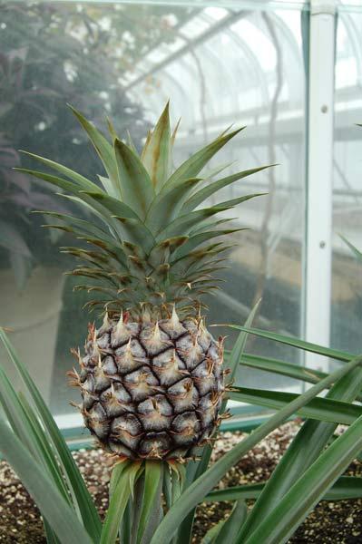 Выращивание тропического фрукта дома - очень увлекательное занятие