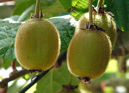 Kiwi - tropical vine that you can grow your own
