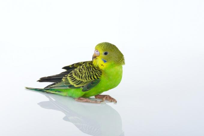 Как научить разговаривать волнистого попугая