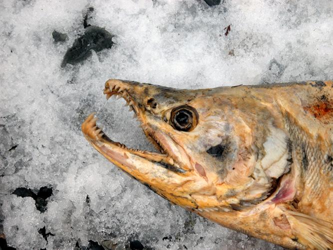 Если рыба есть, мороз не страшен!