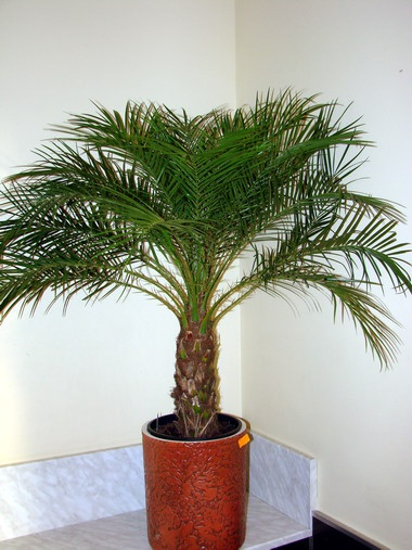 Пальма в интерьере -  кусочек  экзотики из жарких стран