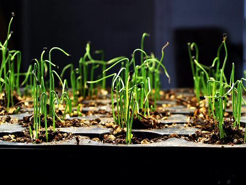 Как вырастить рассаду лук-порей в домашних условиях