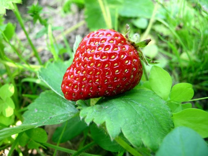 Клубника - любимая ягода многих