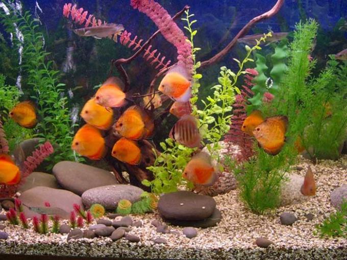 Первым и самым важным этапом в лечении рыбок является постановка диагноза