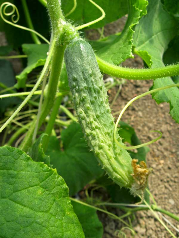 Cucumber is one of the favorite garden plants.