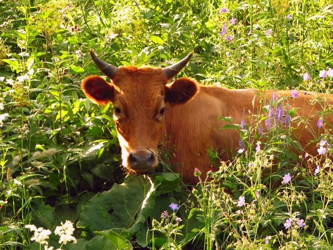 ушиб вымини у коровы