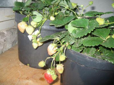 Как вырасти землянику из семян