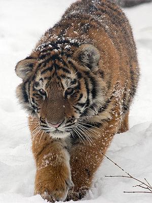 Как нарисовать тигра карандашом