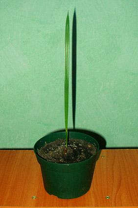 Вот так выглядит проросток финиковой пальмы. На первых порах он совсем не похож на свою красавицу-маму