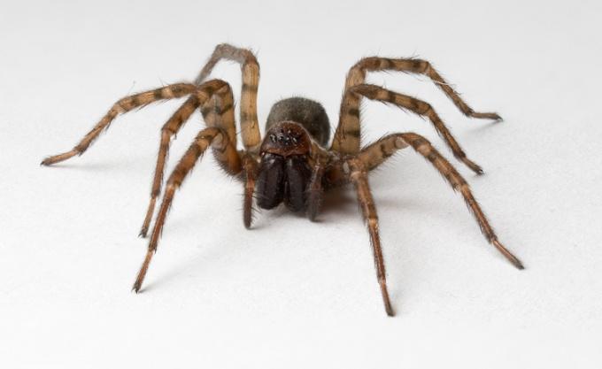 Живые пауки могут быть даже ядовитыми. Паук, которого вы сделаете сами, такой опасности не представляет