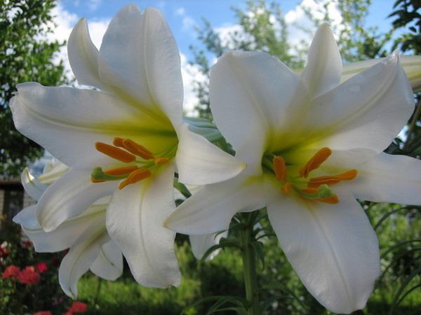 Лилия – изящный и красивый цветок, любимый многими